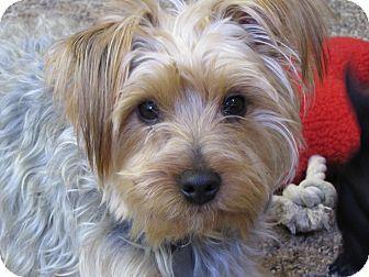 East Hartford, CT Yorkie, Yorkshire Terrier/Silky