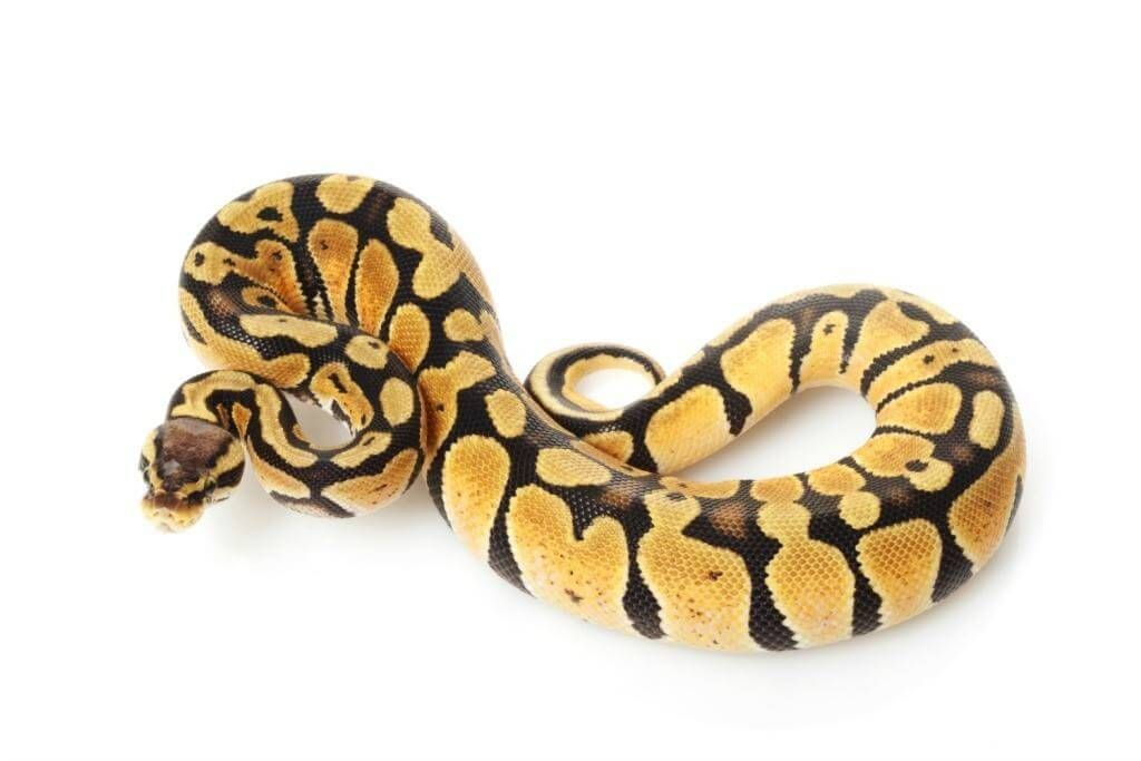how to train a pet snake