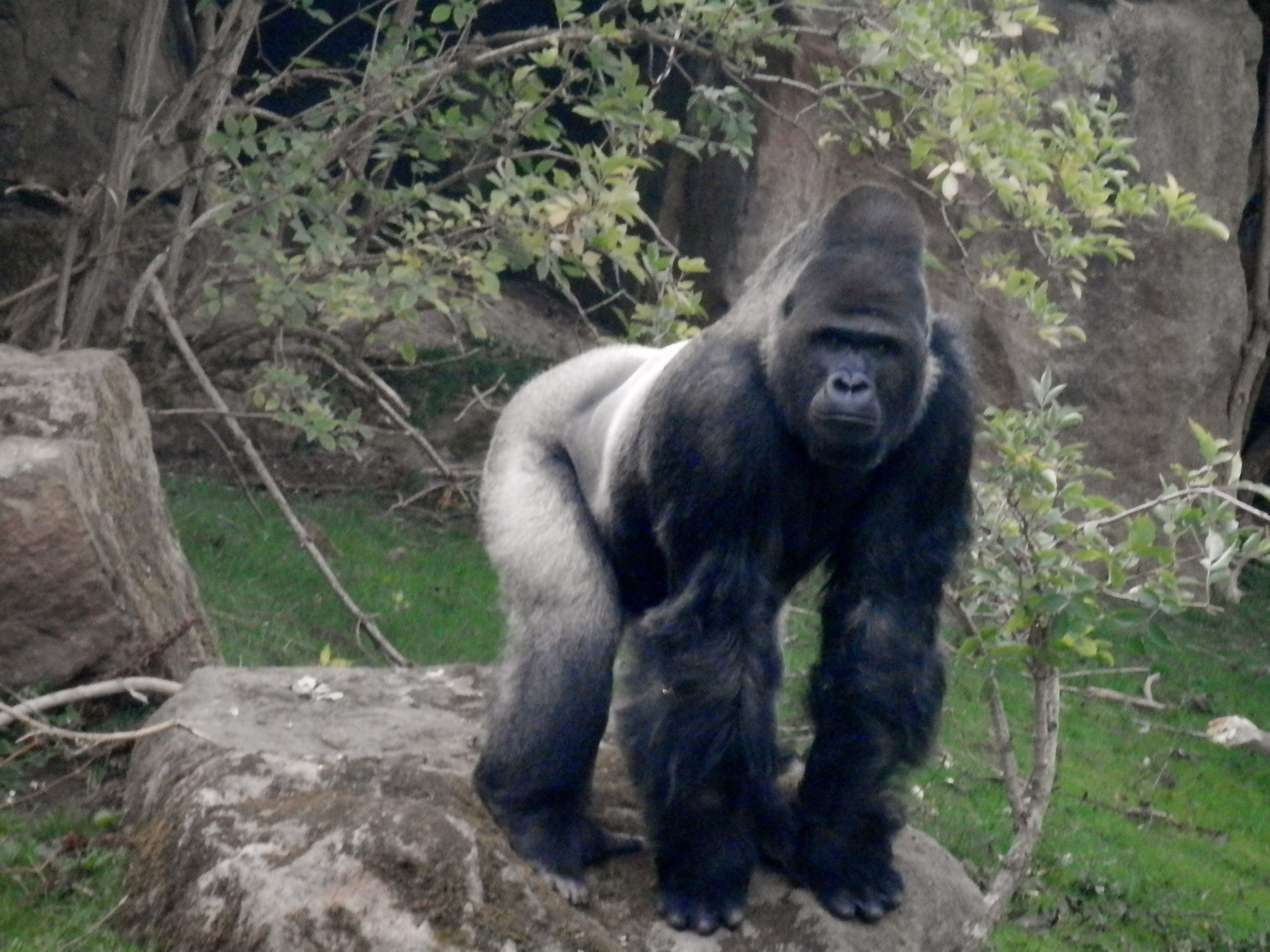 Silverback Gorilla Blackpool zoo Pinterest