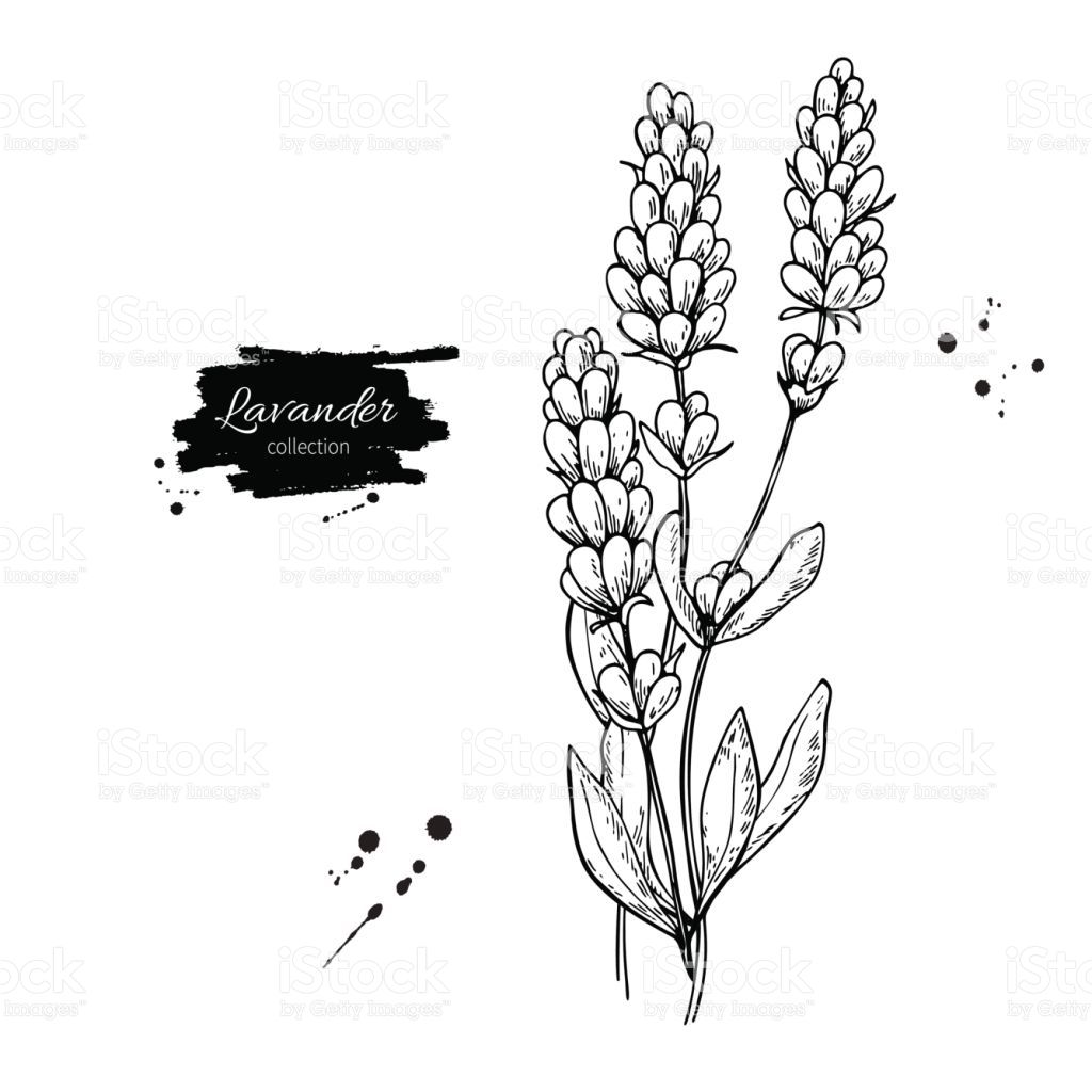 Lavender Vector Drawing Set Isolated Wild Flower And Leaves