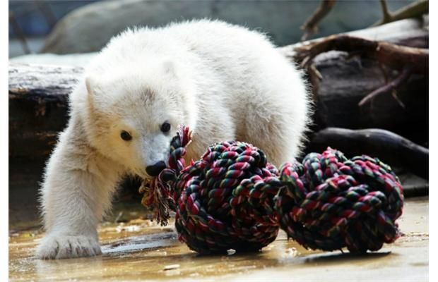 Eyes bigger than his mouth. Baby #polarbear Anori plays with an oversized knotted rope. (Daniel Naupold, AFP/Getty Images)