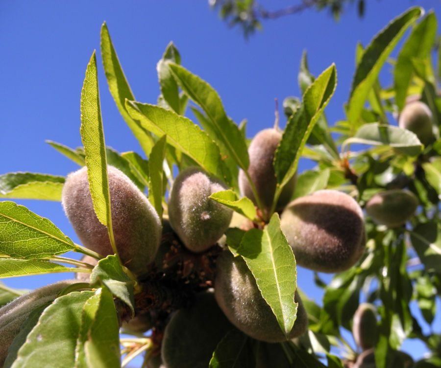 Mandelbaum Frucht Prunus Dulcis Fruchte