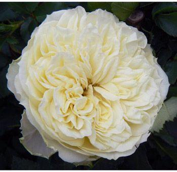antique romantica garden rose longevity fragrance and beautiful form - White Patience Garden Rose