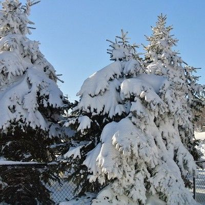 """blizzard2013 Pine Trees landen with snow 32"""" just as the sun was coming out"""
