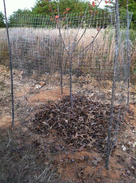 Caging The Apple Trees For Deer Protection Growing Fruit