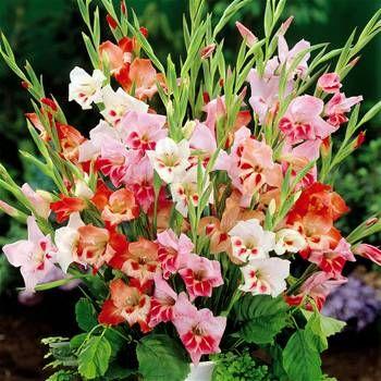 Gladioli Nanus Mix Bulb Flowers Gladiolus Gladiolus Bulbs