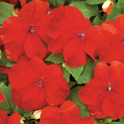 Impatiens   Xtreme Red F1