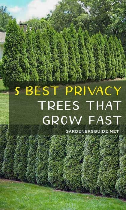 Photo of 5 Best Trees For Privacy That Grow Fast – Gardeners' Guide