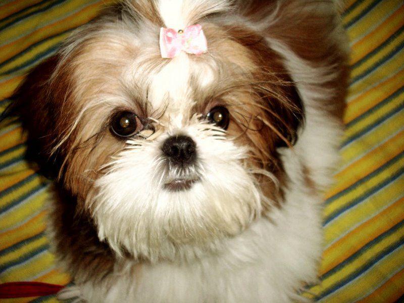 Inverness Fl Shih Tzu Meet Bolt Stray W High Acres St Avail 4 17 A Pet For Adoption Pet Adoption Dog Adoption Shih Tzu