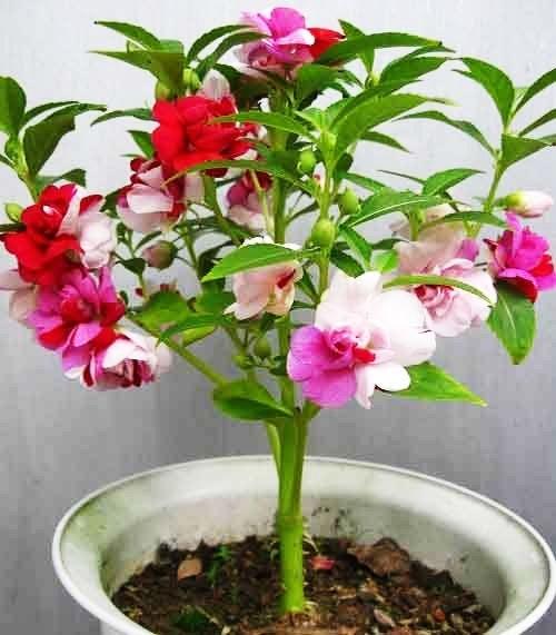 Colorful Garden Balsam Seeds Impatiens Balsamina Garden Flowers Sz Wish Flower Seeds Fragrant Flowers Impatiens Flowers