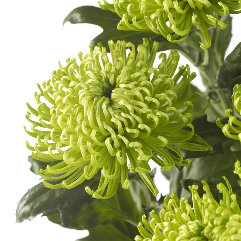 Chrysanthemum Anastasia Dark Green Chrysanthemum Plant Chrysanthemum Chrysanthemum Flower
