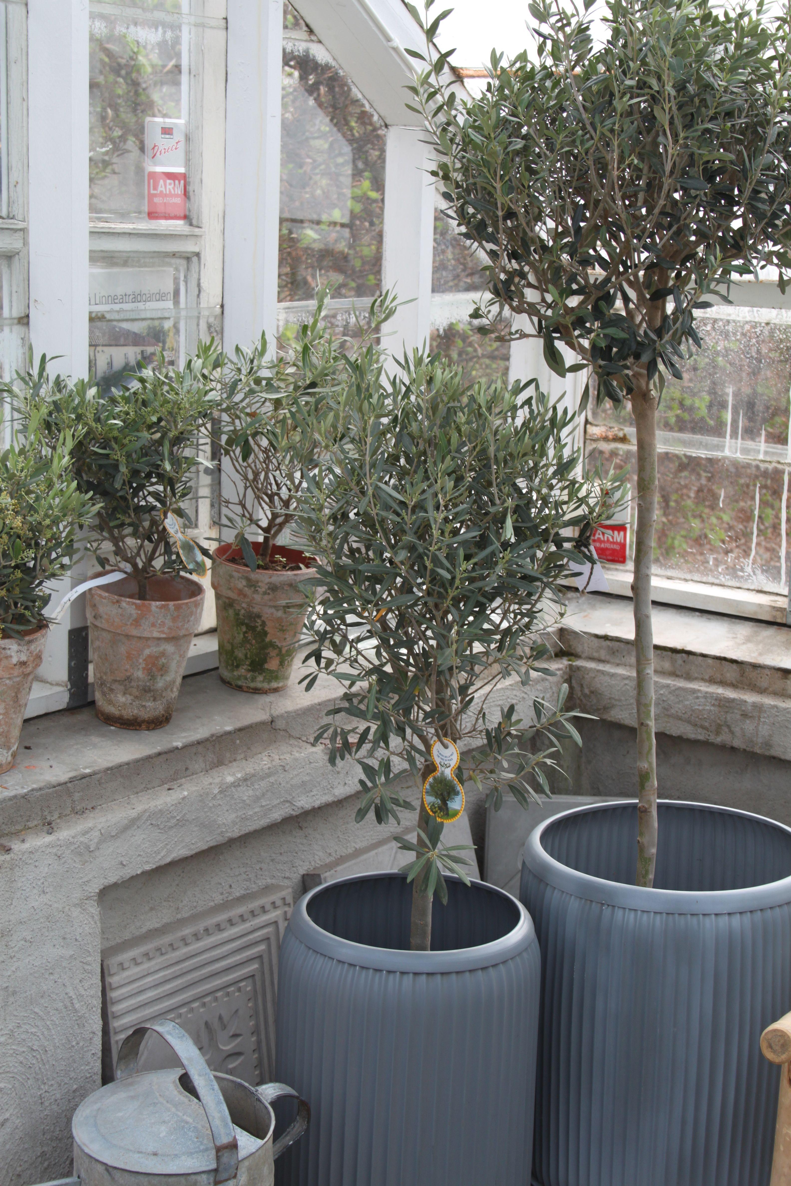 Över 1 000 bilder om Olivträd på Pinterest