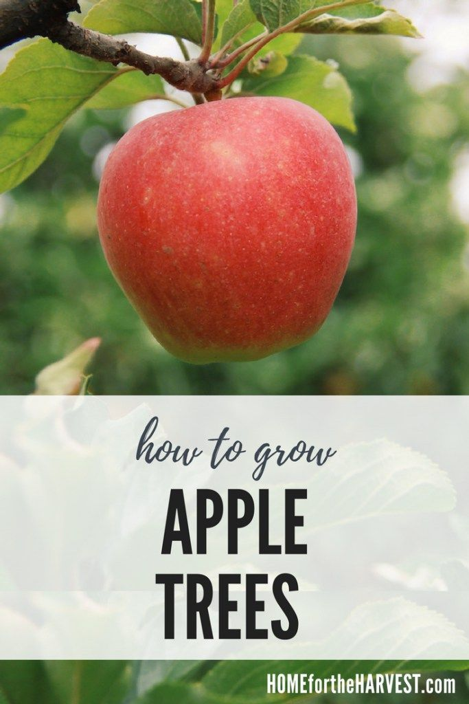How Long Does It Take For An Apple Tree To Grow With Images Growing Apple Trees Organic Vegetable Garden Organic Gardening Tips