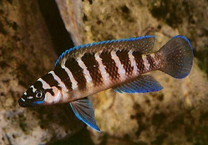 Neolamprologus Cylindricus Cichlids African Cichlids Lake Tanganyika