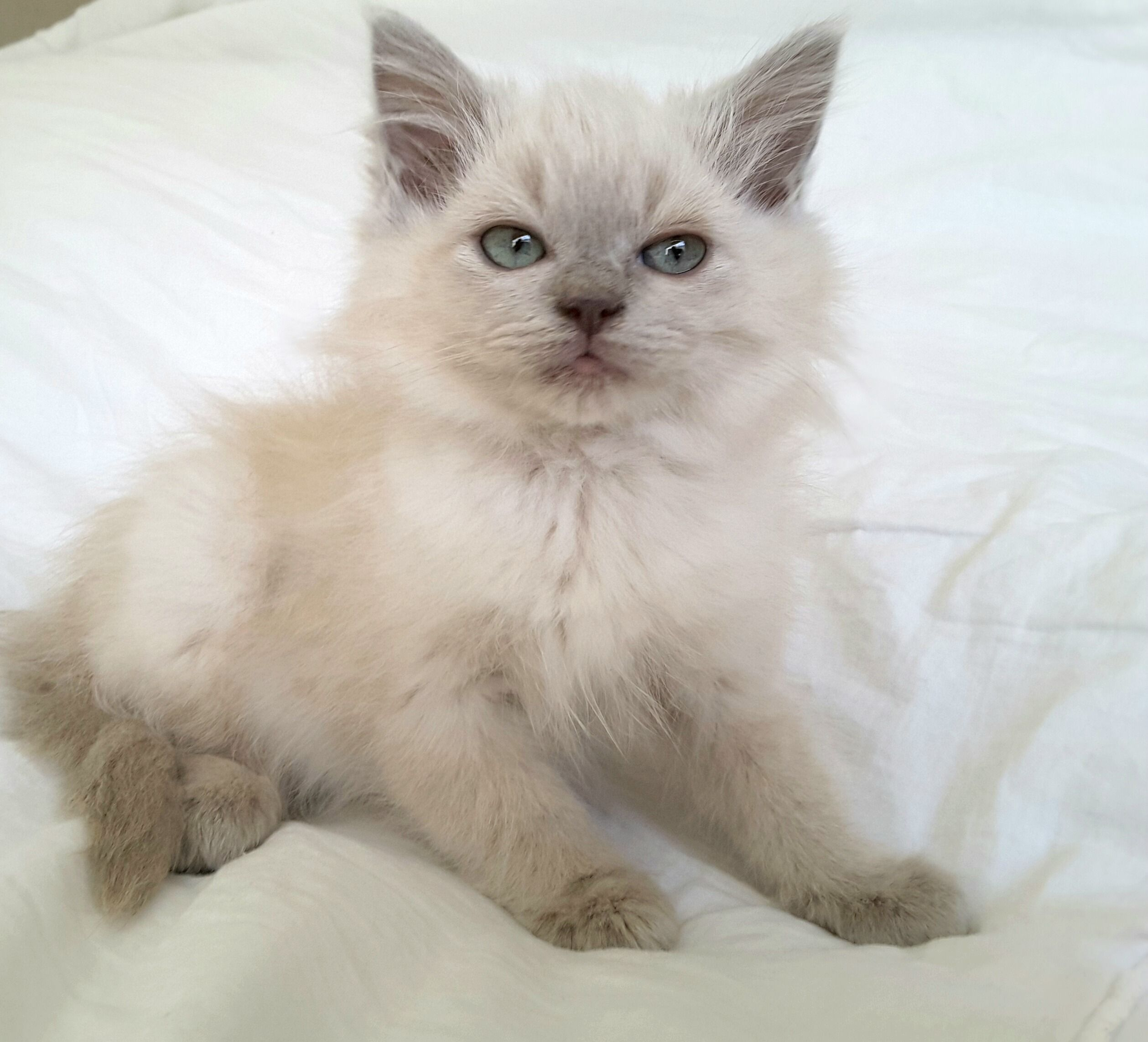 Available Ragdoll Kittens For Sale. Mink and Sepia Ragdolls ...