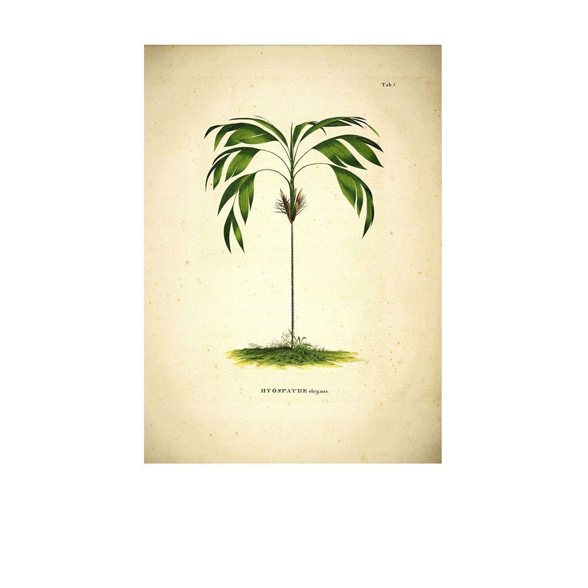 affiche botanique palmier hyospathe elegans un palmier joliment illustr magnifi par cette. Black Bedroom Furniture Sets. Home Design Ideas