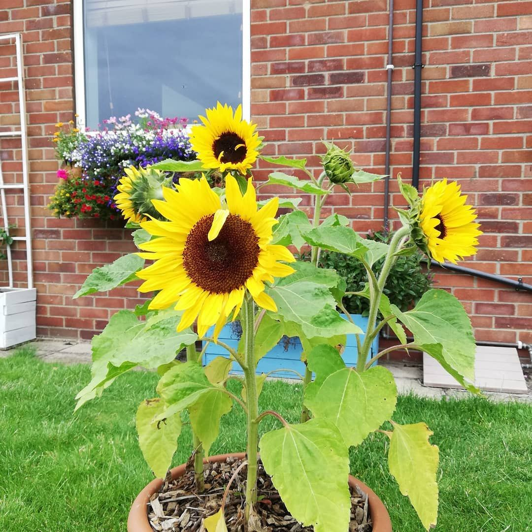 The Sunflowers Are My Favourite Thing In The Garden At The Minute So I May As Well Join The Sunflowercomp2020 Garden In 2020 Garden Inspiration Plant Life Plants
