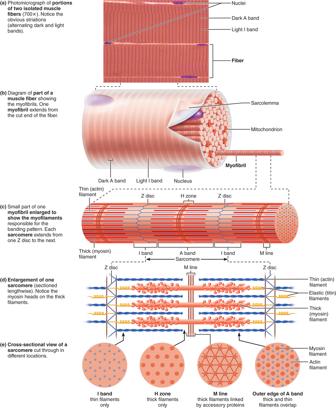9.3 Skeletal muscle fibers contain calcium-regulated molecular ...