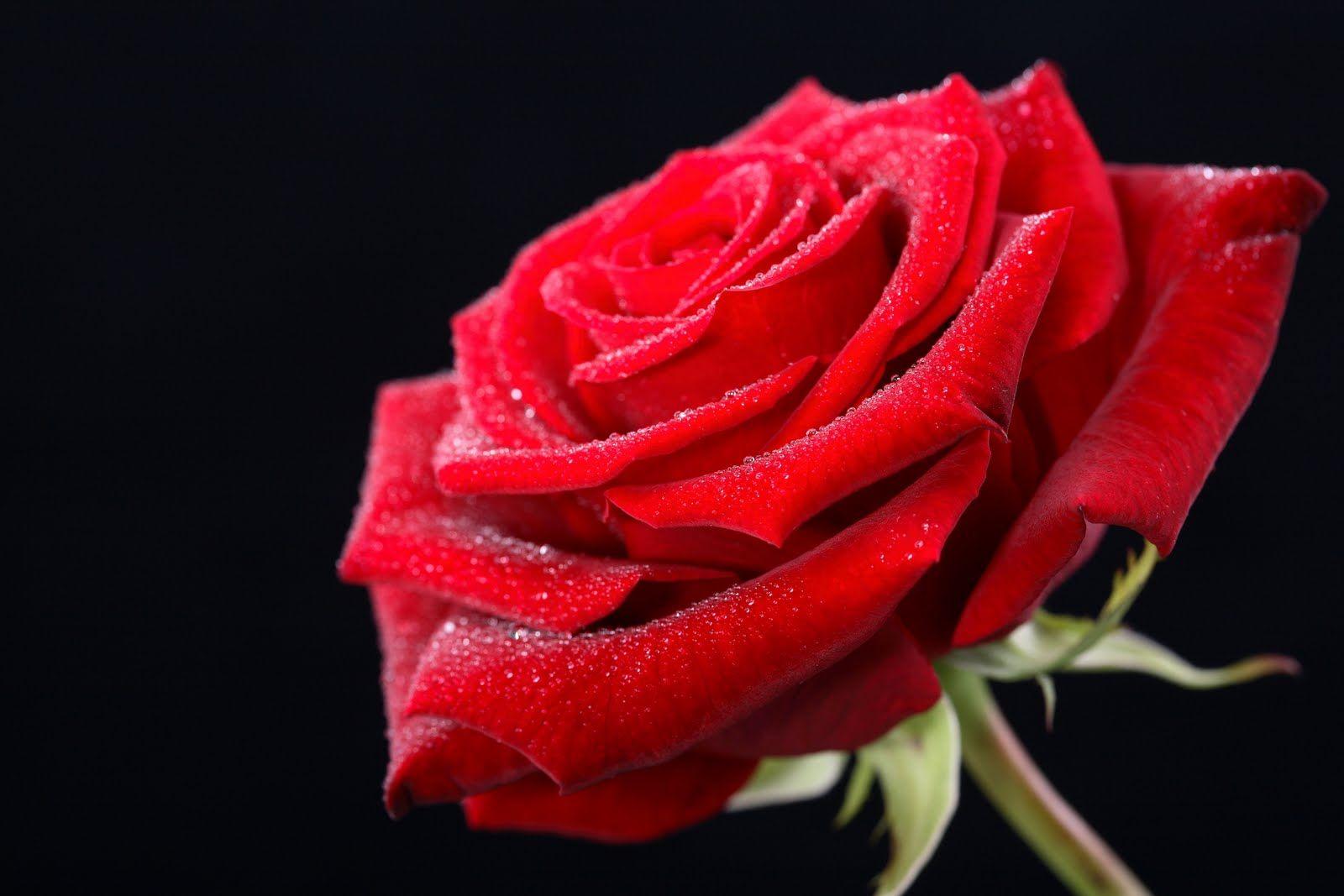 Wallpapers Rosas Rojas: Rosas Rojas Para Fondo De Pantalla En 4K 7 HD Wallpapers