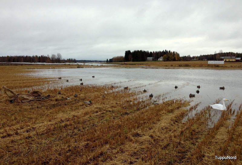 Getting ready for duck hunting on a flooded field. Peltosorsastuksen valmisteluja