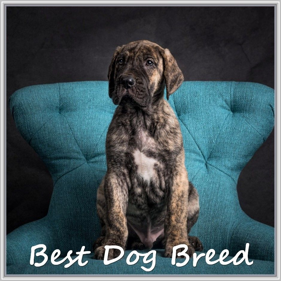 Information About Canines Great Dane Puppy Dogs Best Dog Breeds
