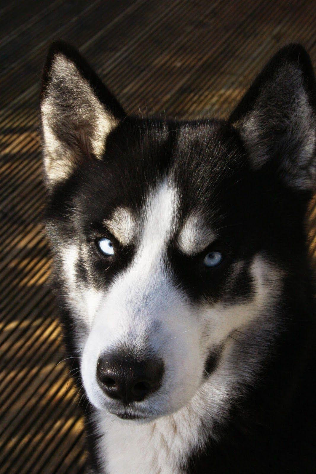 Amazing And Smart Siberian Husky Dog Dogs Siberian Husky Husky