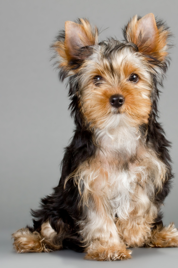 Yorkshire Terrier Puppies On A Gray Background Not Isolated Yorkshireterrier Yorkshire Terrier Puppies Yorkshire Terrier Terrier