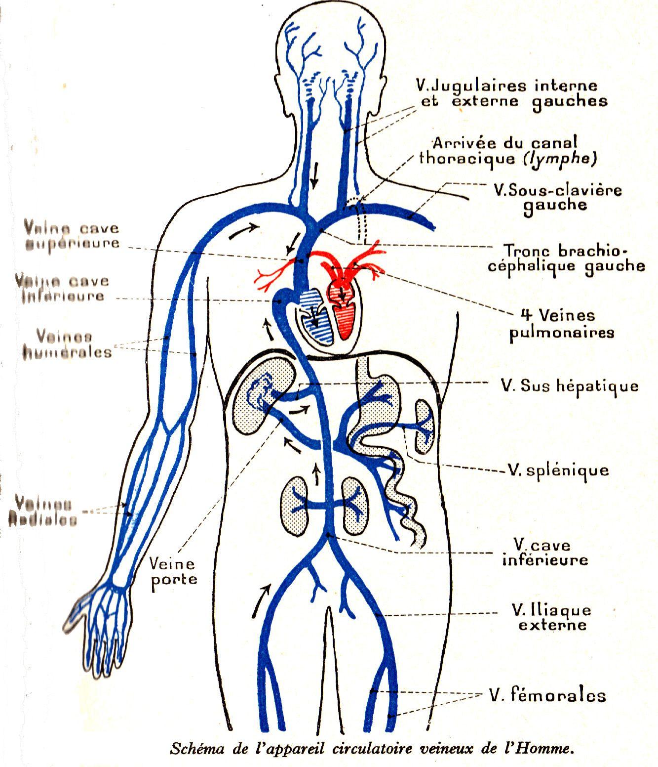 homme-appareil-circulatoire-veineux.JPG (1333×1552) | Favoritos ...