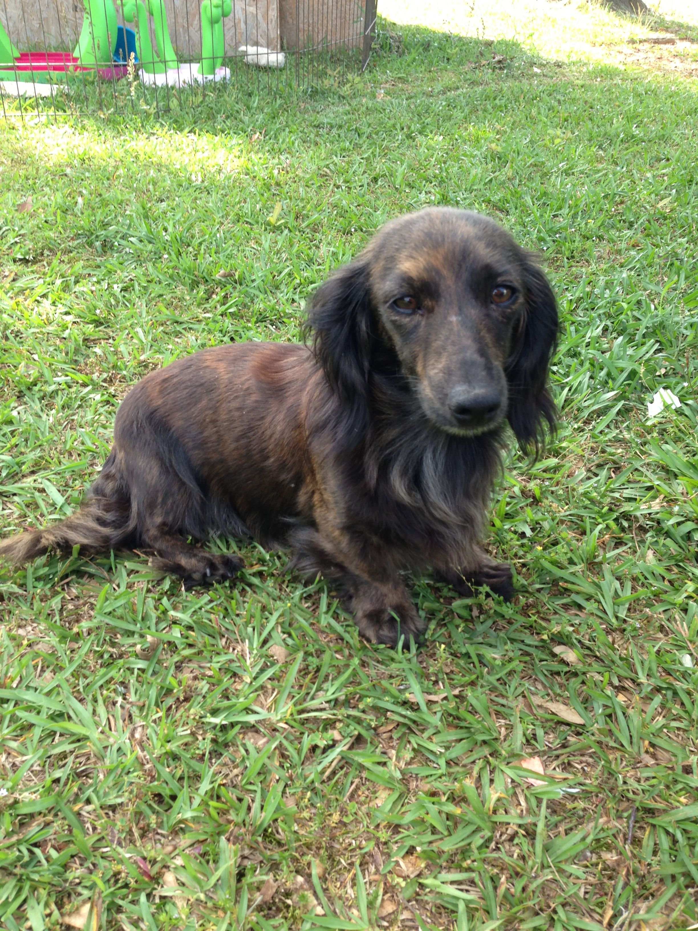 My Sokie A Brindle Long Hair Dachshund Long Haired Dachshund