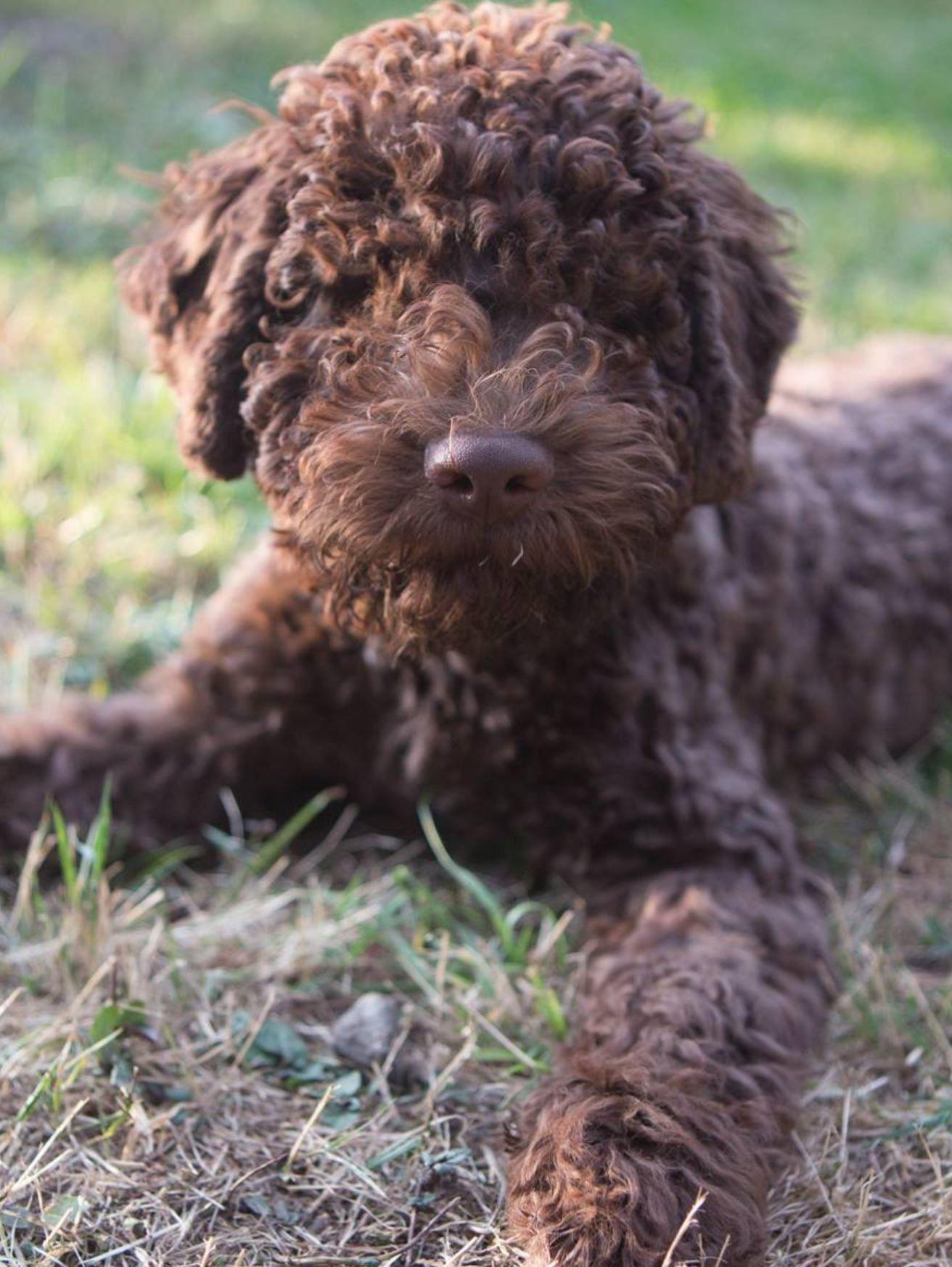Lagotto Romagnolo Puppy Hunde Bilder