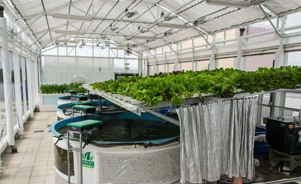 The farm of the future green sky growers growing plants the farm of the future green sky growers aquaponics greenhouseaquaponics fishcommercial sciox Images