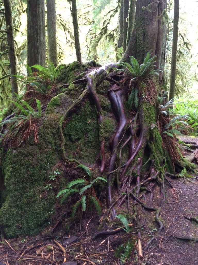 Tree growing over boulder in an Olympic National Park rainforest. The Pacific Northwest is an amazing vacation for adventurers, with picturesque vistas, sprawling mountains, sandy beaches, whale watching, sea stacks, old growth trees, hot springs, a rain forest and still more!