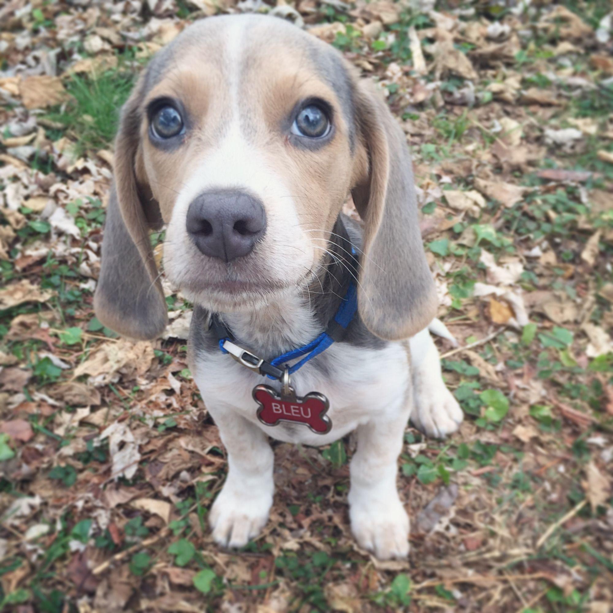 Happy Bleu Year Blue Beagle Beagle Puppy Beagle Dog