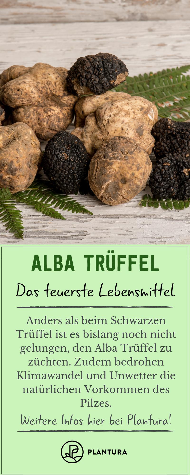 Alba Truffel Das Teuerste Lebensmittel Der Welt Pilze Anbauen Lebensmittel Und Alba Truffel