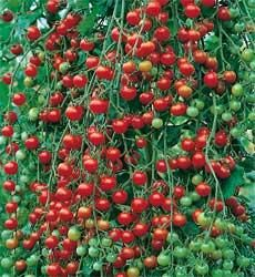 Sweet Million Cherry Tomatoes You Had Me At A Million Tomatoes Tomato Garden Veggie Garden Little Gardens