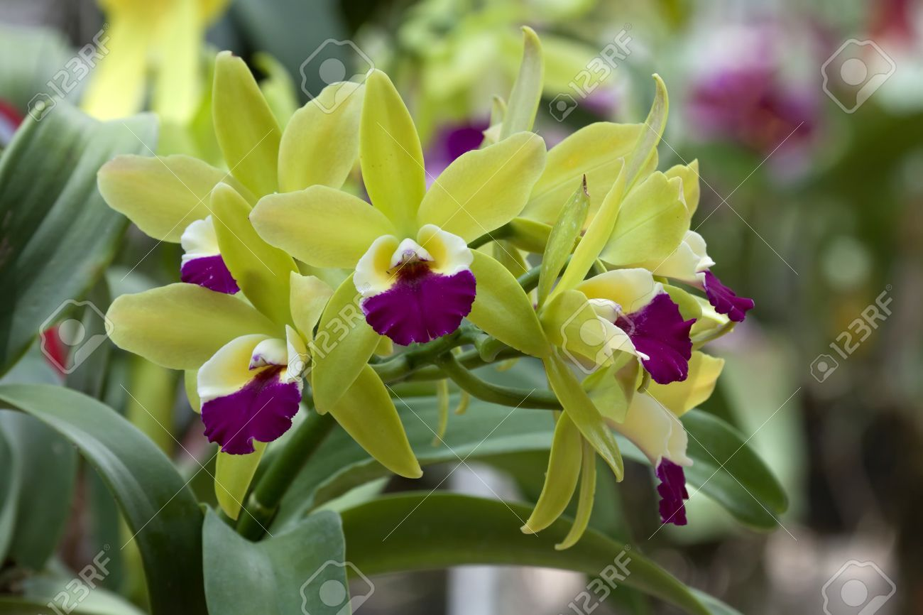 Bright Cattleya Orchid Flower Color Yellow And Violet Cattleya Orchid Orchid Flower Orchids