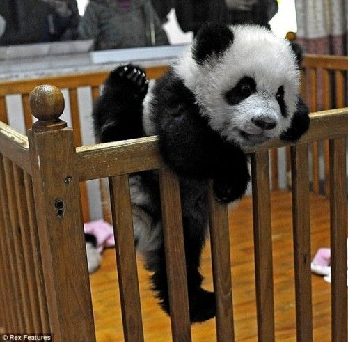 hellocute:  Aww! Poor baby panda… He's trying to get out of his crib! (image via Little Chief Honeybee)
