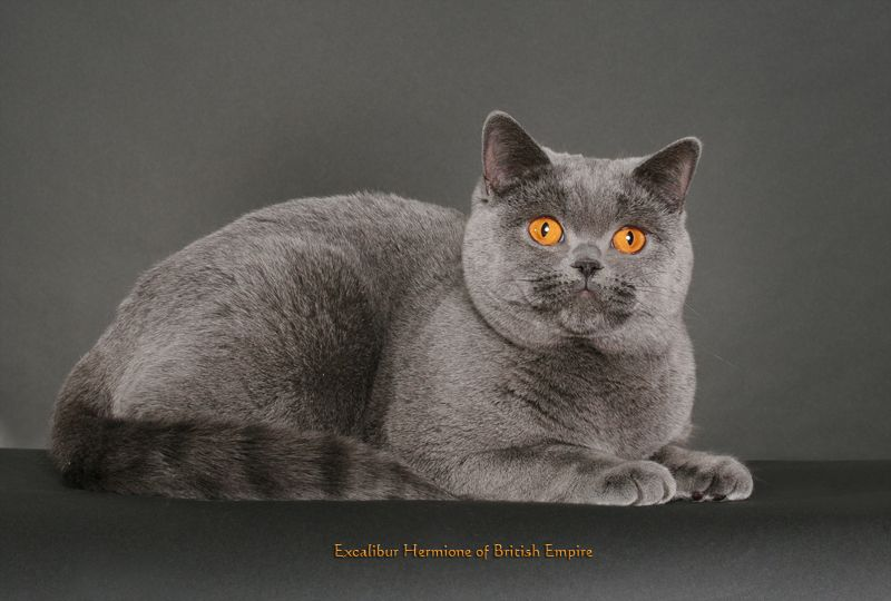 British Empire Cats Gallery Sirs Amp Dames British Shorthair Kittens British Shorthair Cats Cats