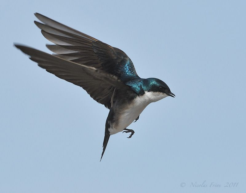 flying swallow photography - Google Search (With images ...