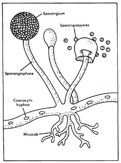 Asexual structures of rhizopus and penicillium