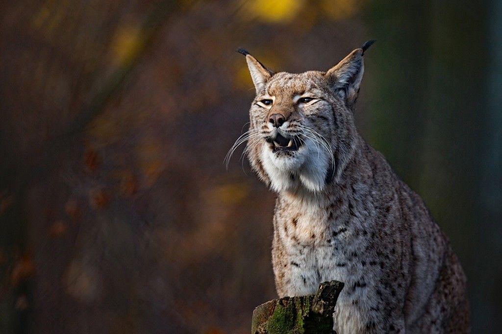 Wild Cat Animal Lynx Wallpaper Wild Cats Animals Lynx