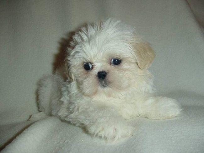 White Maltese Shih Tzu Puppies Zoe Fans Blog Shih Tzu Puppy