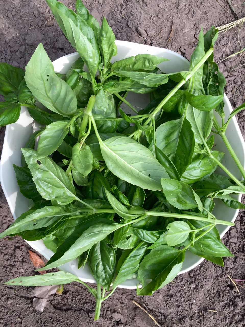 A new way to preserve fresh basil freezing method and