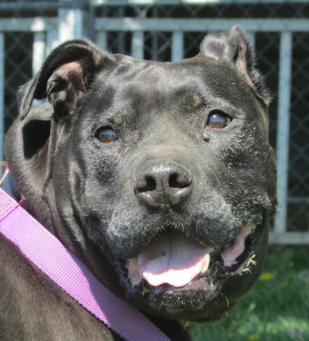 Adopt Meshe On I Love Dogs Black Labrador Retriever Dogs