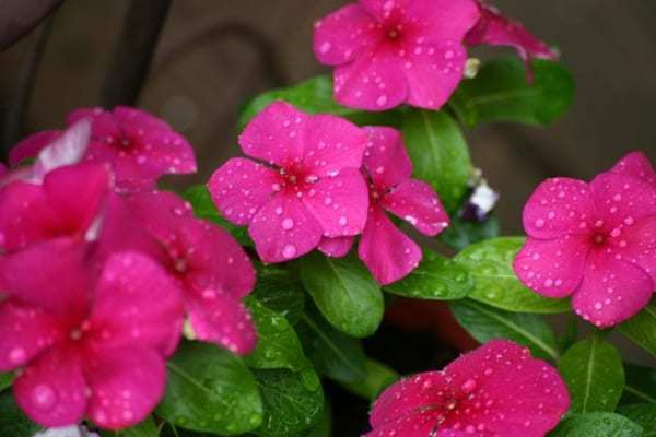 Kumpulan Nama Bunga Lengkap Dari A Z Beserta Gambar Dan Penjelasannya Bibit Online Best Perennials Deer Resistant Plants Flowers Perennials