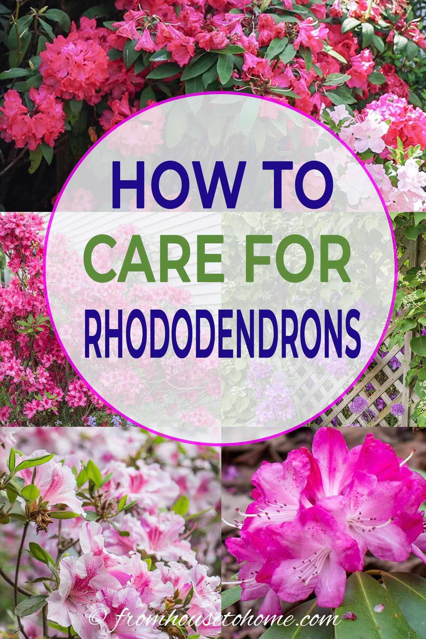 Rhododendron Care How To Grow Beautiful Rhododendrons And Azaleas Gardening From House To Home In 2020 Rhododendron Care Shade Loving Shrubs Rhododendron