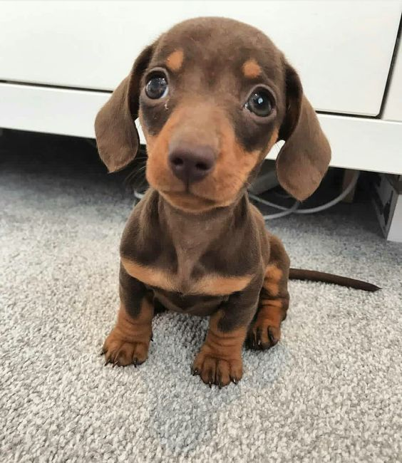 Chocolate And Tan Dachshund Brown And Tan Dachshunds Brown And Tan