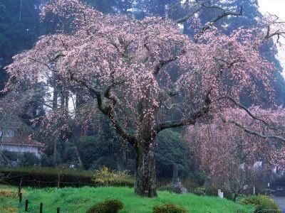 Weeping Cherry Tree Propagation Kylepearman Weeping Cherry Tree Flowering Cherry Tree Cherry Tree