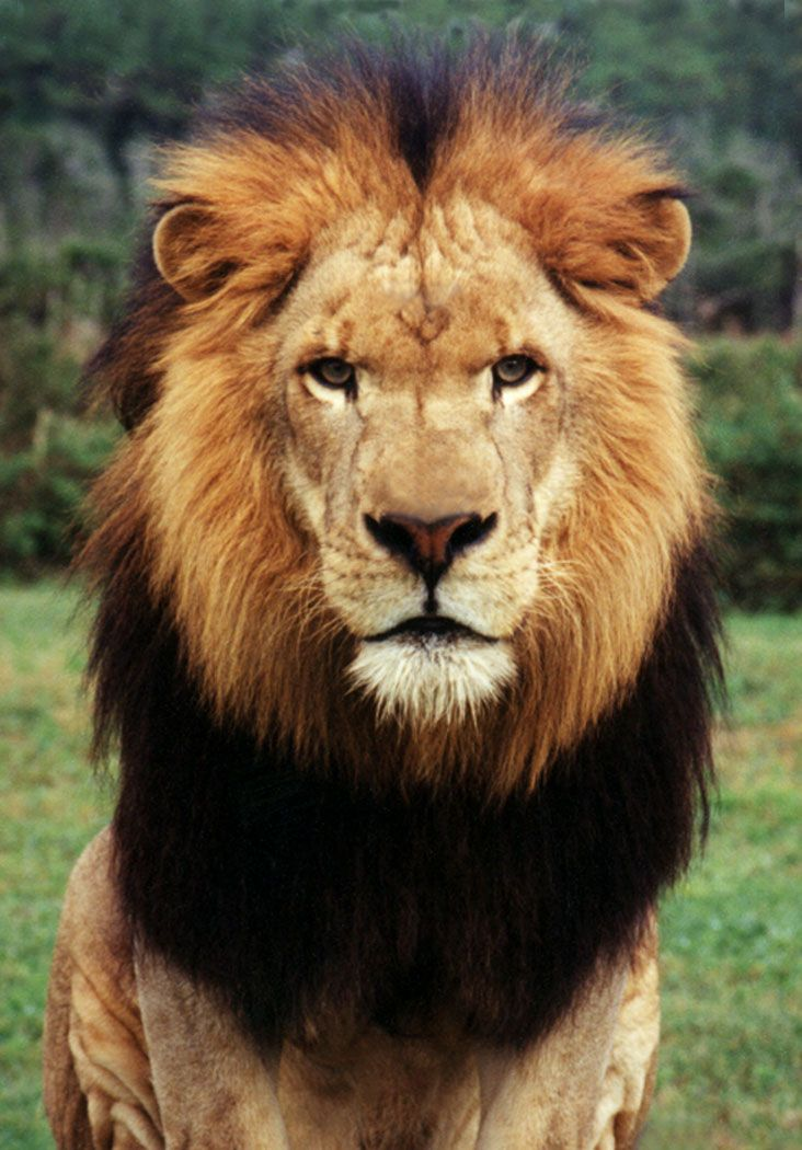 lion male face animal african google lions wild mane faces cats animals portrait tattoo king hair
