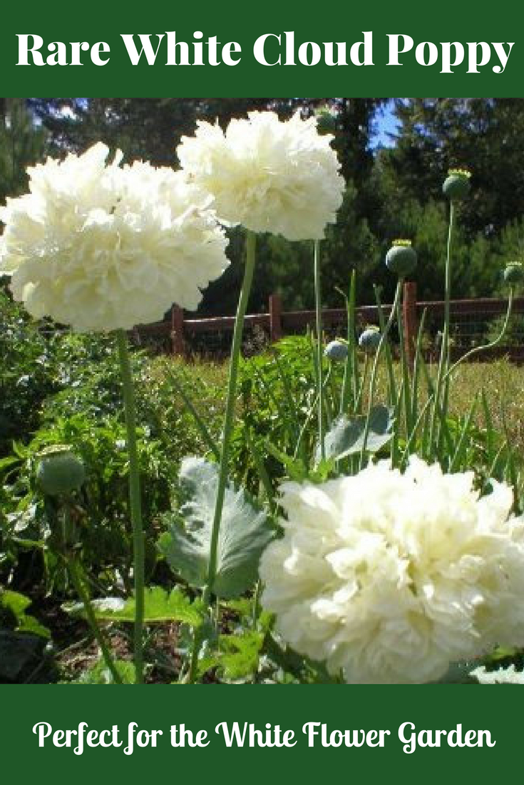 I Love These Flowers They Look Like A Giant Chrysanthemum Or Carnation Or Even Peony With Their Large 4 5 Bloo Bulb Flowers Flowers Perennials Flower Garden